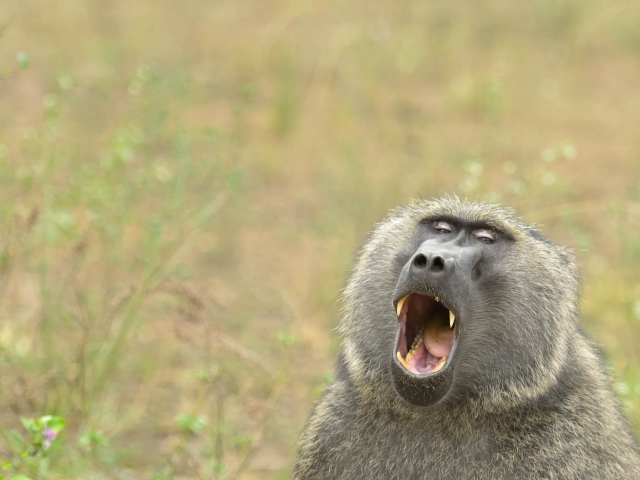 Olive Baboon - Open Wide!