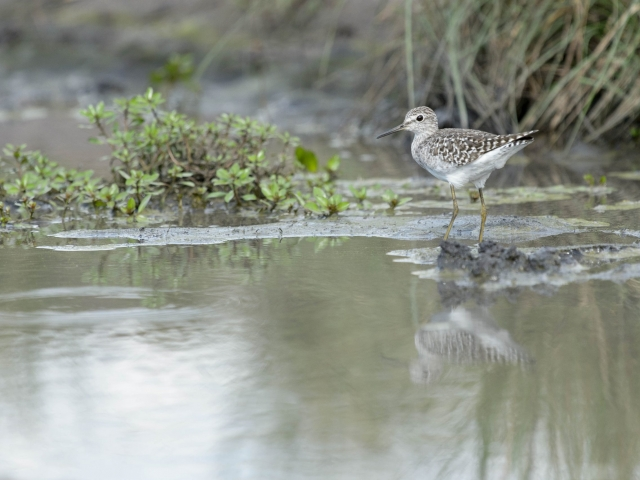 Wood Sandpiper - Dainty Steps