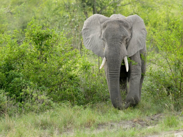 Elephant - Step and Trunk