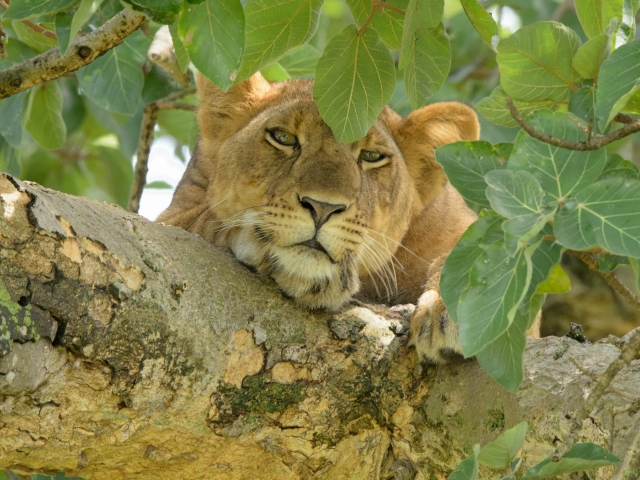 Lion - On a Branch Totally Relaxed