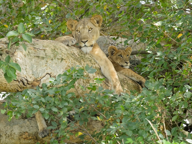 Lioness & Cub - Nestled Nicely in the Tree