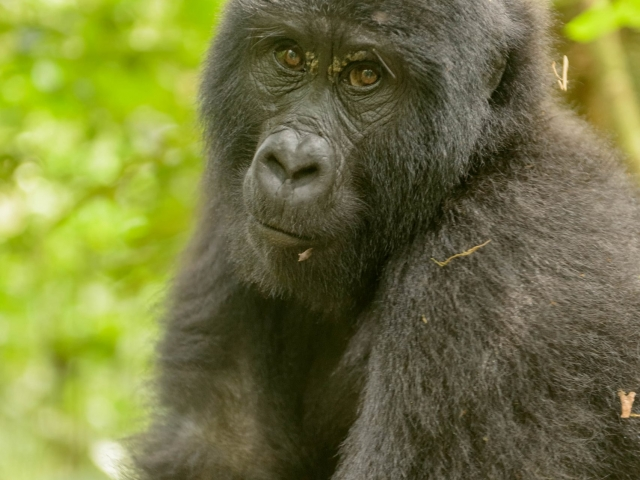 Mountain Gorilla - You Cannot Be Serious