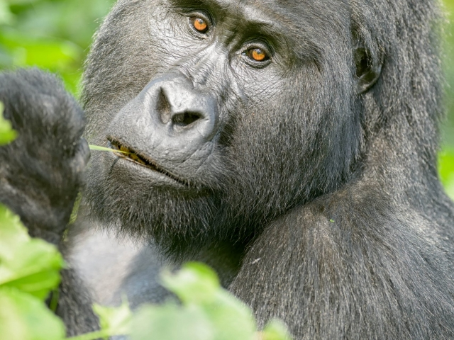 Mountain Gorilla - Not A Care In The World