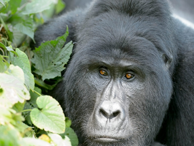 Mountain Gorilla - Watching the World Go By