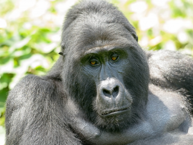 Mountain Gorilla - Lost in Deep Thought