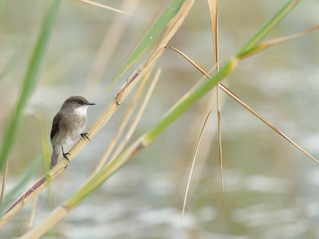Swamp Flycatcher on Reed