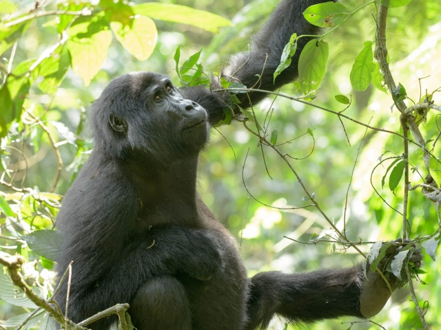 Mountain Gorilla - What Does This One Do