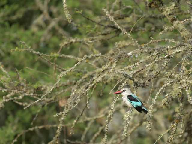 Woodland Kingfisher - Intense Observation