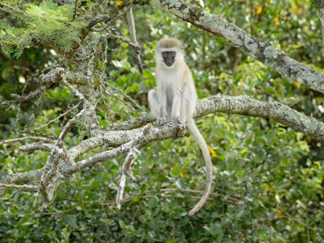 Vervet Monkey - Caught in the Act!