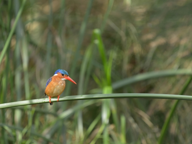 Malakite Kingfisher - Colorful contemplation