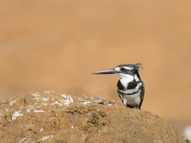 Pied Kingfisher - On Clay Mound