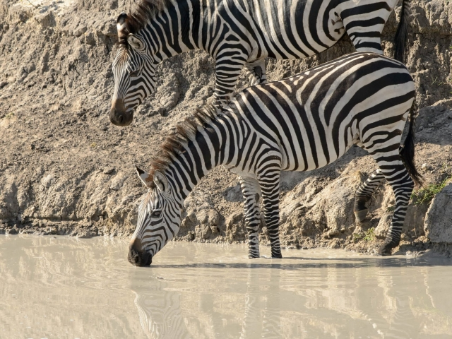 Common Zebra - Double Reflections in Muddy Waters