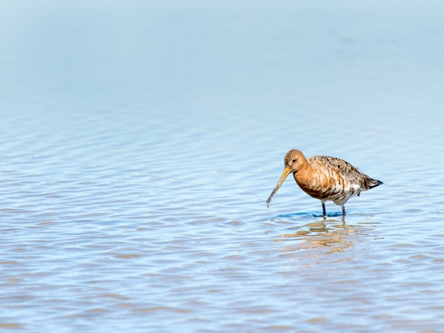 Black-tailed Godwit - Muddy Fishing