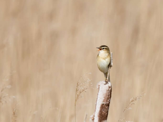 Reed Warbler - Singing a Happy Song