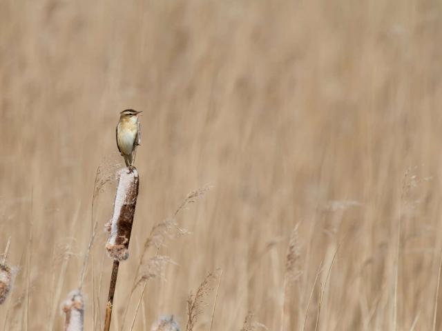 Reed Warbler - Bullrush Balance