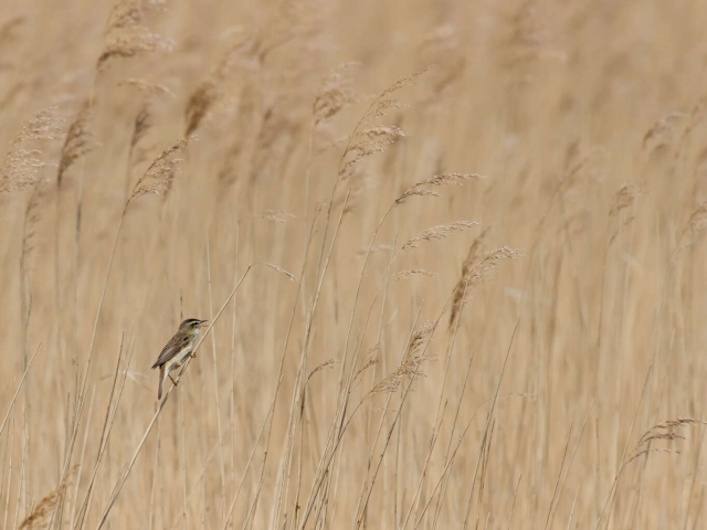 Reed Warbler - Blowing in the Wind