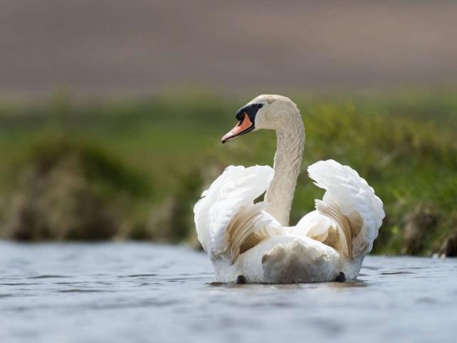 Mute Swan - Furled Wings