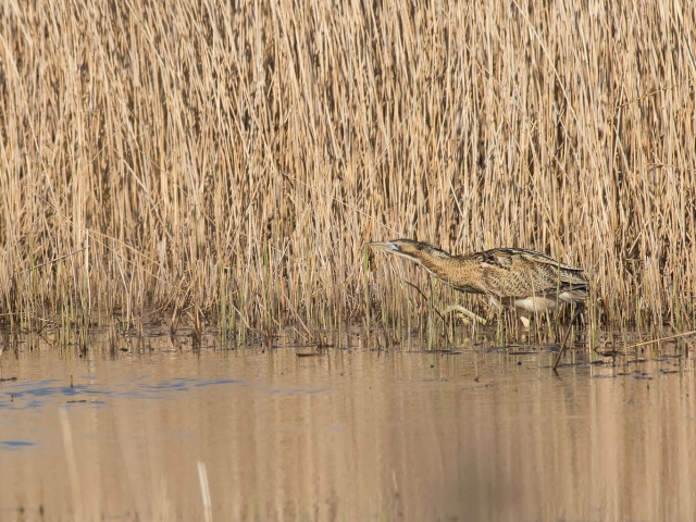 Bittern - Camoflaged in the Shallows