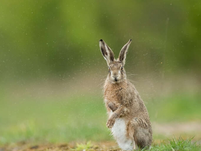 Hare - Wet Hare Day