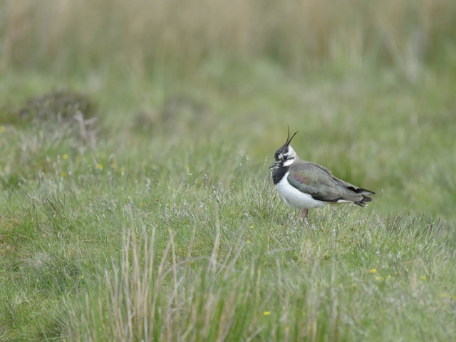 Lapwing - In the Grass