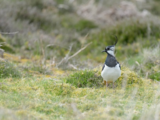 Lapwing - What Was That