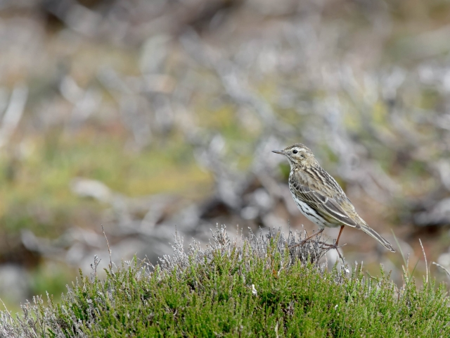 Meadow Pipit - On Heather