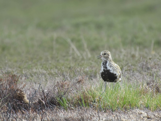 Golden Plover - In the Grass