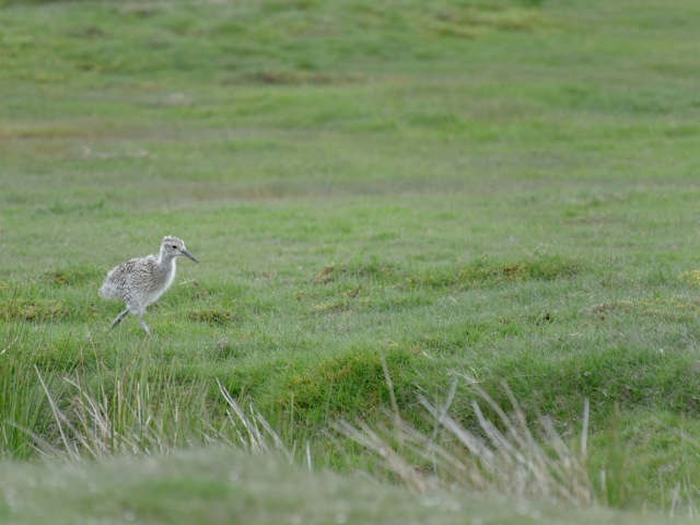 Curlew - Where's Mum