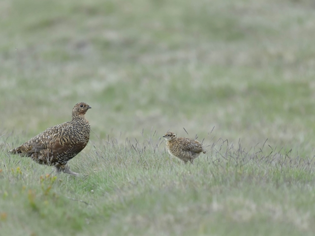 Red Grouse - Are You My Chick