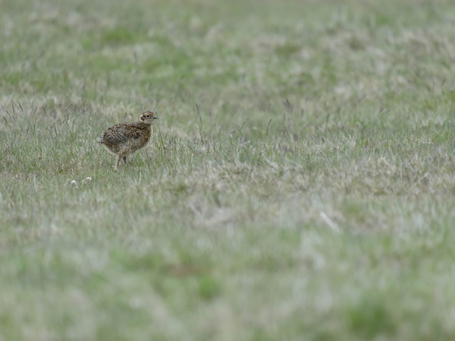 Red Grouse - Where's Mum