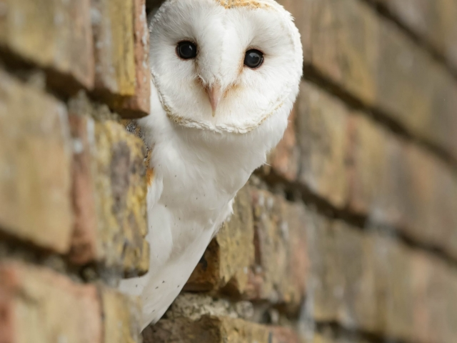 Barn Owl - Through the Wall