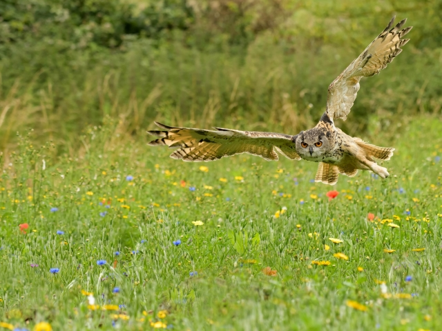 Eurasian Eagle Owl - Over Wild Flower MEadow