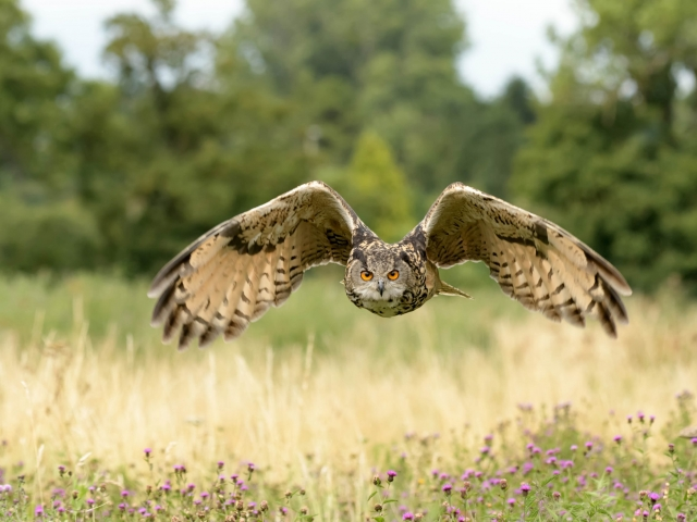 Eurasian Eagle Owl - Over Thistles