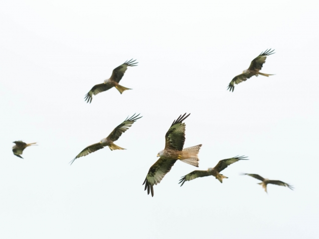 Red Kite - Flock of Birds