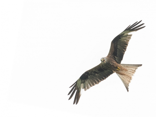 Red Kite - Angry Bird