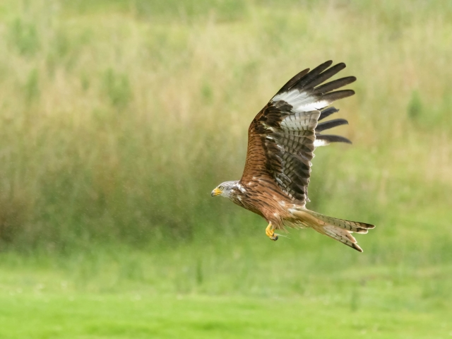 Red Kite - Fly By