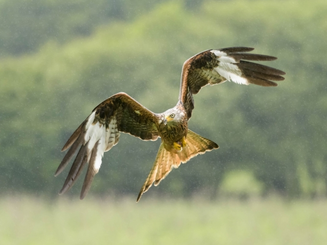 Red Kite - Rain on Beak