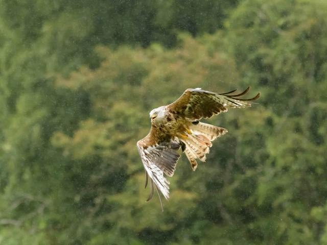Red Kite - In the Rain