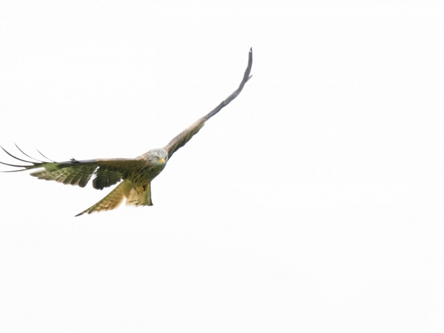 Red Kite - Soaring High