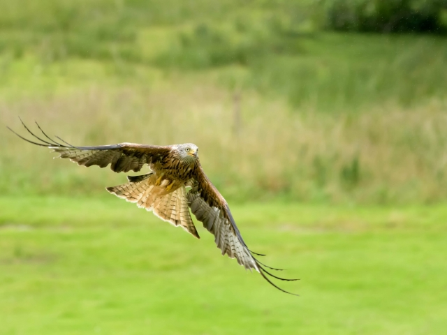 Red Kite -  Lift Off