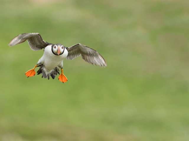 Puffin - Landing Gear Down