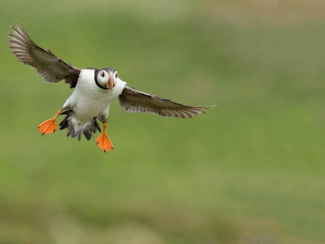 Puffin - Wings Out for Landing