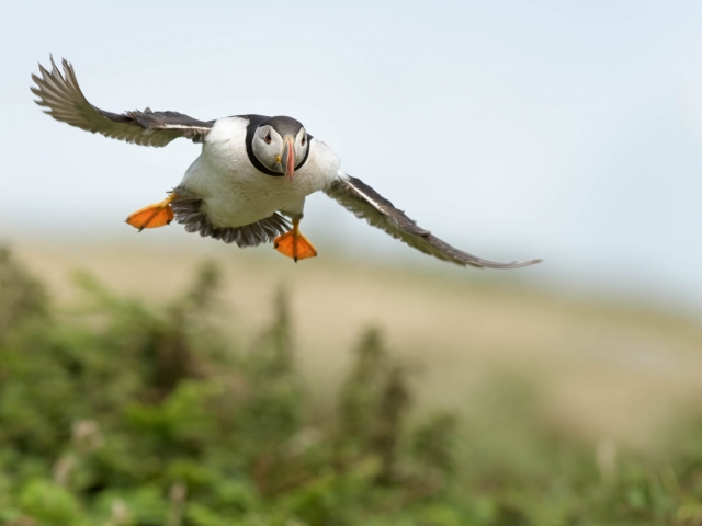 Puffin - Coming in Fast