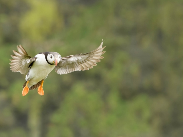 Puffin - Where's my Nest