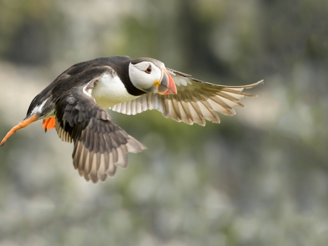 Puffin - Gliding By