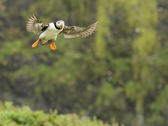 Puffin - Coming into Land