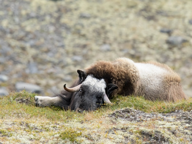 Musk Ox - Best Foot Forward