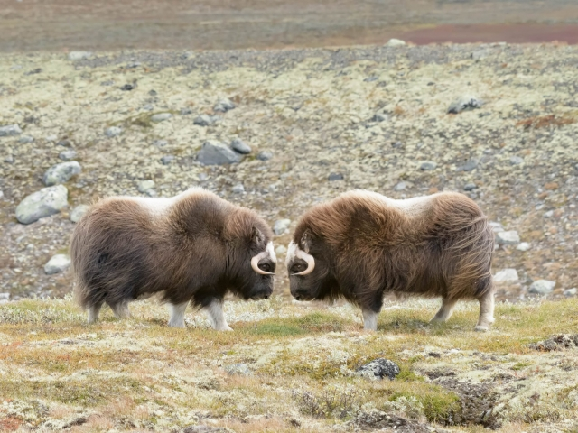 Musk Ox - Book Ends