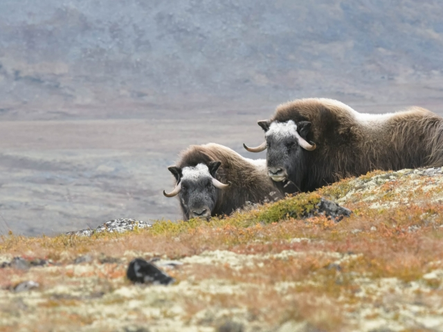 Musk Ox - Two Over the Ridge