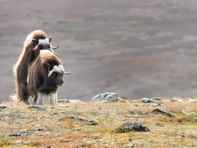Musk Ox - Making Bacon